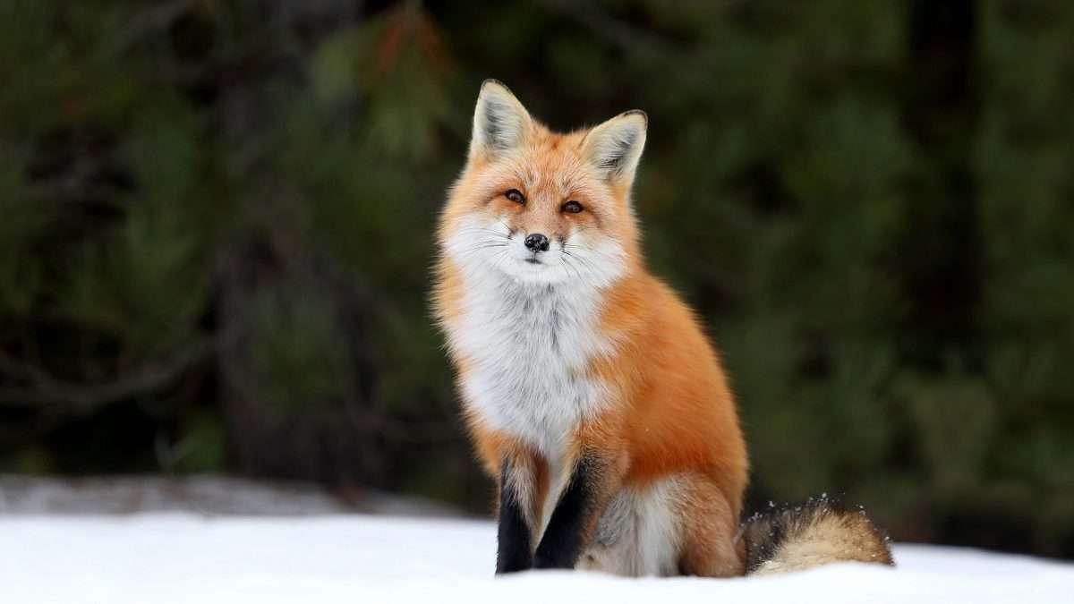 Сообразительная лиса