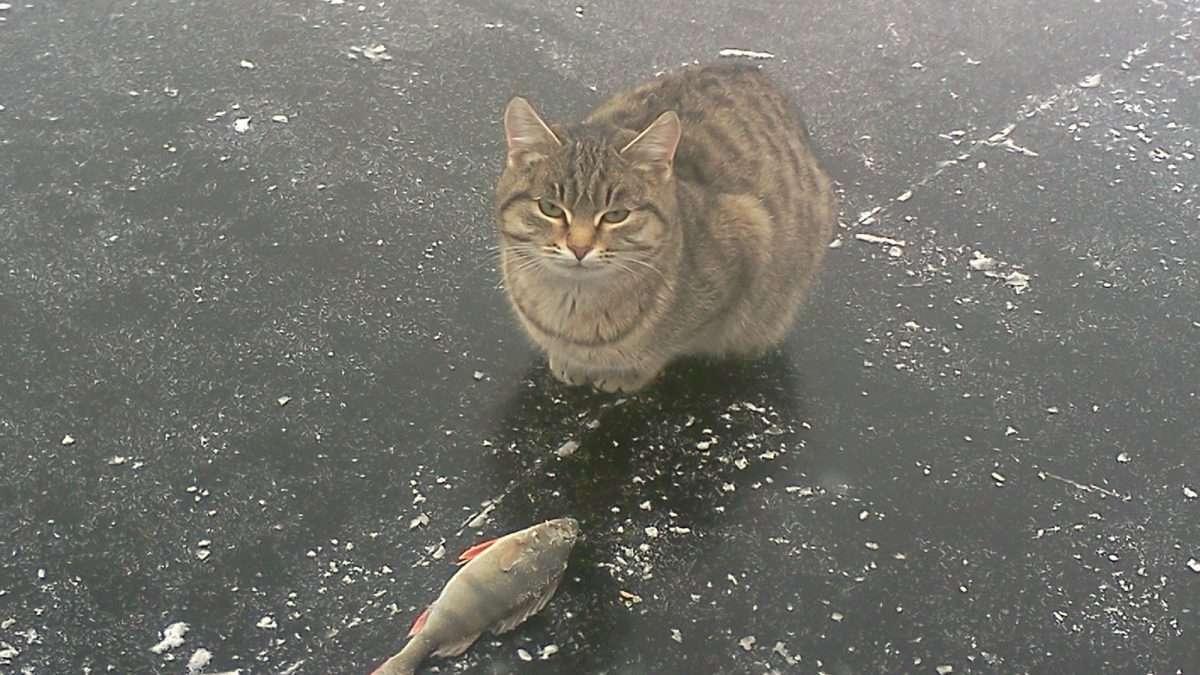 Рыбацкий кот
