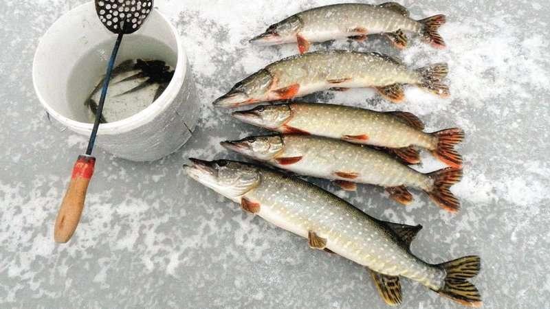 Как сохранить малька для зимней рыбалки
